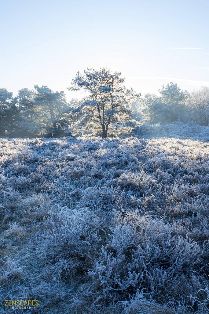 'Kerstboom' op de heide - Winterlandschap in Drenthe
